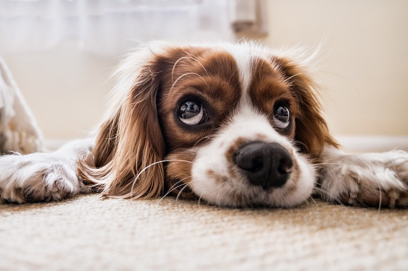 PureBites Dog Lying on the Ground